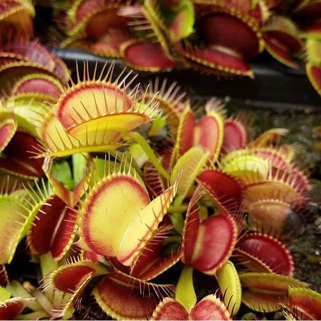 20x Dionaea Muscipula Giant Clip Venus Flytrap Flower Carnivorous Seeds Welcome