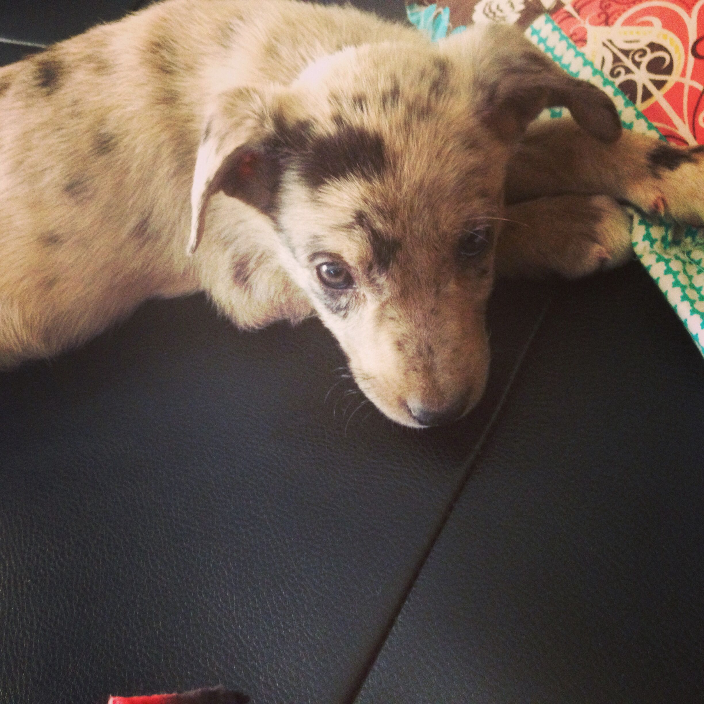Hanging tree cow dogs for sale - Ranch Raised Registered Hangin Tree Cowdog Pups For Sale For More Information Click On The Image Or See Ad 31635 On Www Ranchworldads Com Pinterest