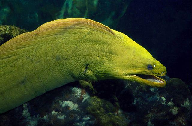green moray eel the golden eel pinterest animal creatures and