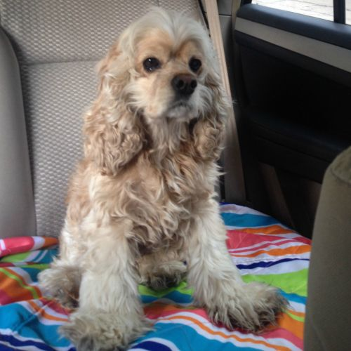Found Dog In Little Rock Pulaski Proof Of Ownership Required Description Cocker Spaniel Gold And White Area Found Hughes Cocker Spaniel Find Pets Spaniel