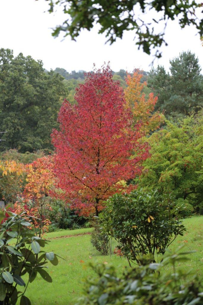 Liquidambar 39 worplesden 39 arboles pinterest hierbas for Hierbas ornamentales