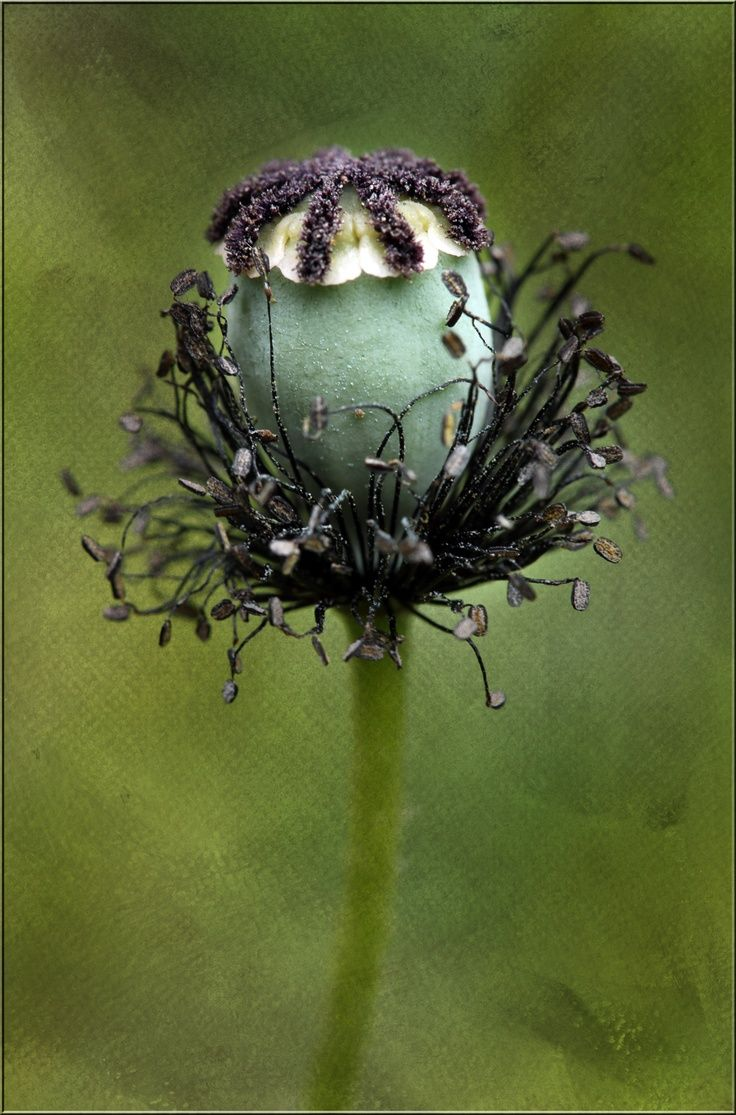 Poppy Seed Head Pflanzen Pinterest Bonsai And Flowers