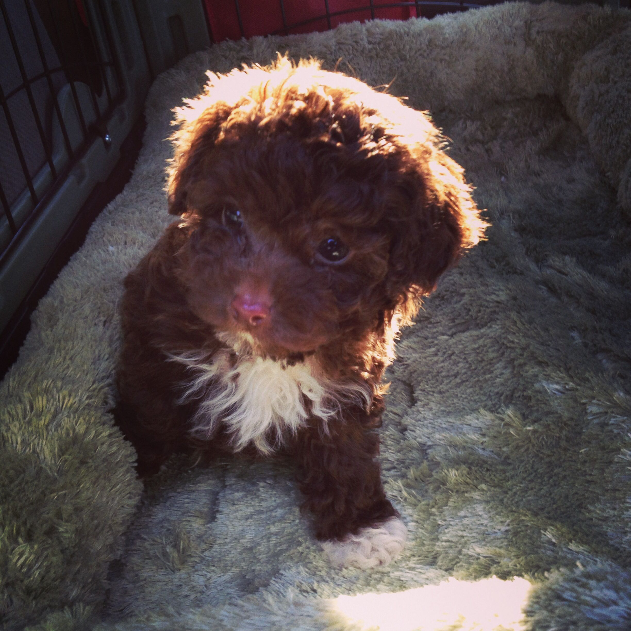 My 8 Week Old Chocolate Maltipoo Brutus Maltipoo Dog Maltipoo