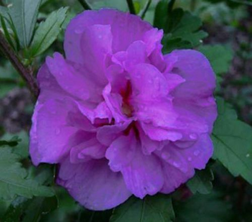 Hibiscus Syriacus Ardens Purple Double Plant With Images