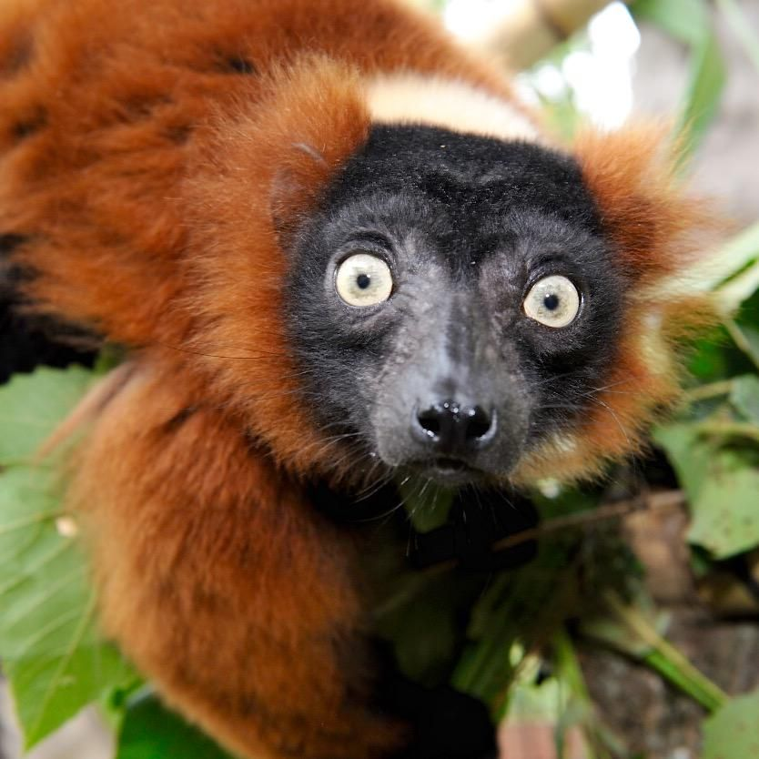This September, our Aquarium family will welcome red ruffed lemurs, a species never before seen in the Lowcountry!