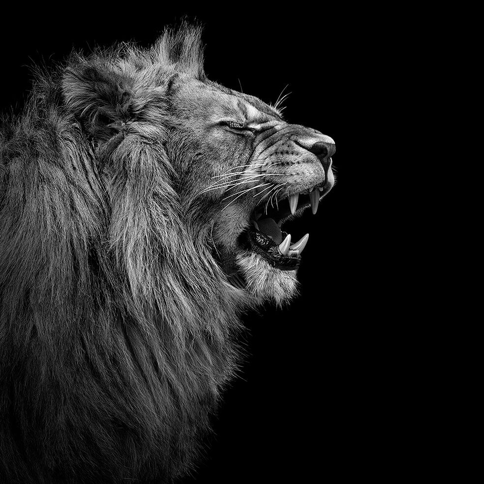 These 23 Black And White Animal Portraits By Lukas Holas Are Just Mesmerizing Black And White Lion Lion Photography Lions Photos