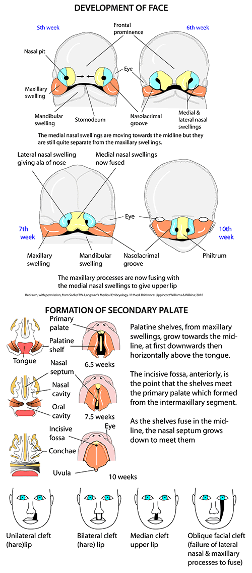 Instant Anatomy - Head and Neck - Areas/Organs - Face - Development ...