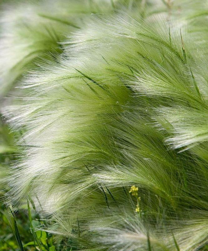 Svansfj dergr s f rslag till gr s i kruka d szf vek for Ornamental grass that looks like wheat