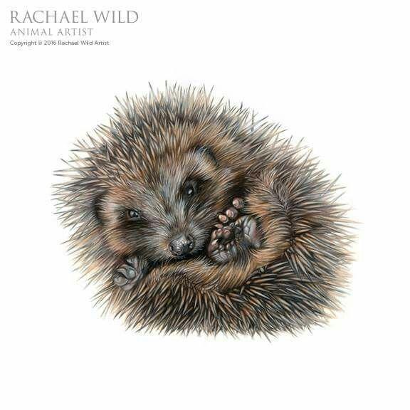 Hedgehog Curled Up Tight Hedgehog Drawing Hedgehog Art Animal Paintings