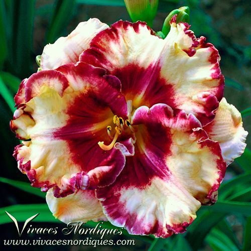 Pin On Daylilies Vivaces Nordiques