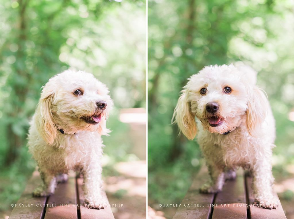 Pet Dog Portraits Photography Hayley Cattell Fine Art Photographer Www Hayleycattell Co Uk