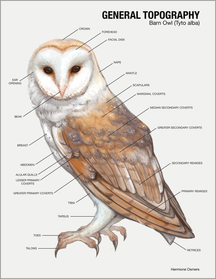 Pin by Christine Kozicke on Owls Owl, Barn owl, Owl pictures