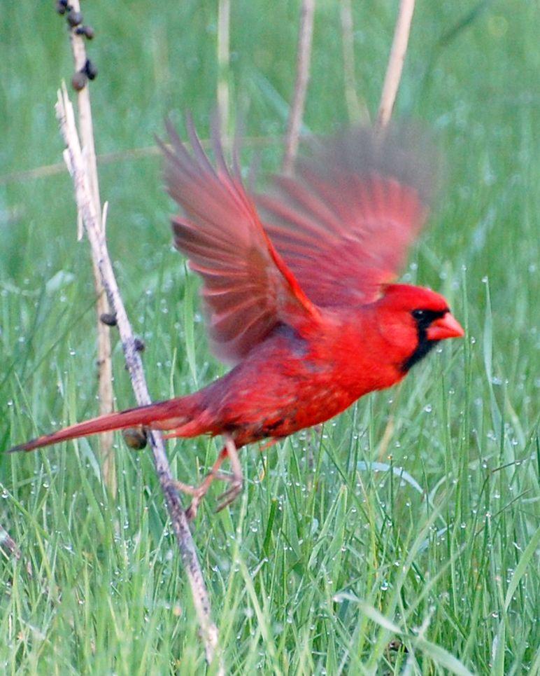 Cardinal In Flight I With Images Cardinal Birds Birds Birds