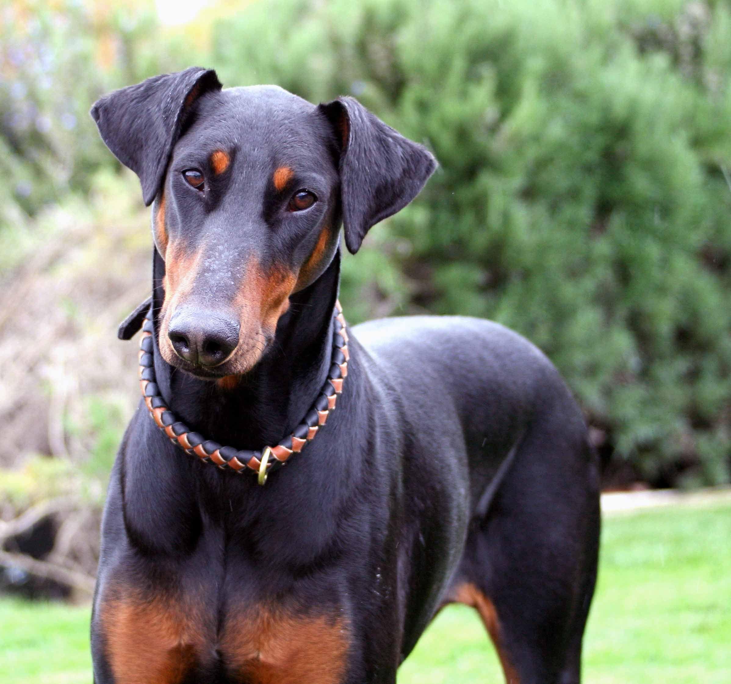 Doberman Pinscher Doberman Pinscher All Big Dog Breeds Atilla