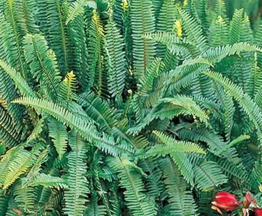 sword fern plants non toxic to dogs pinterest fern