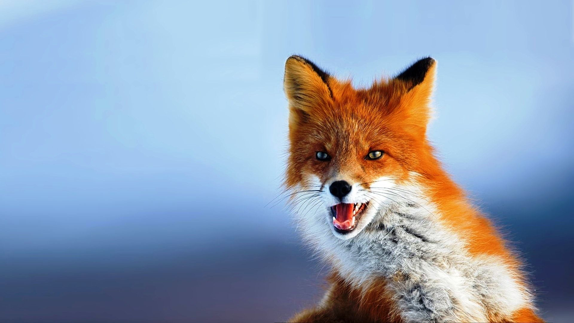 Rubiks Cube Animals beautiful, Pet fox, Animal wallpaper