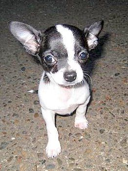 Black And White Chihuahua Looks Like My Sister When She Was A