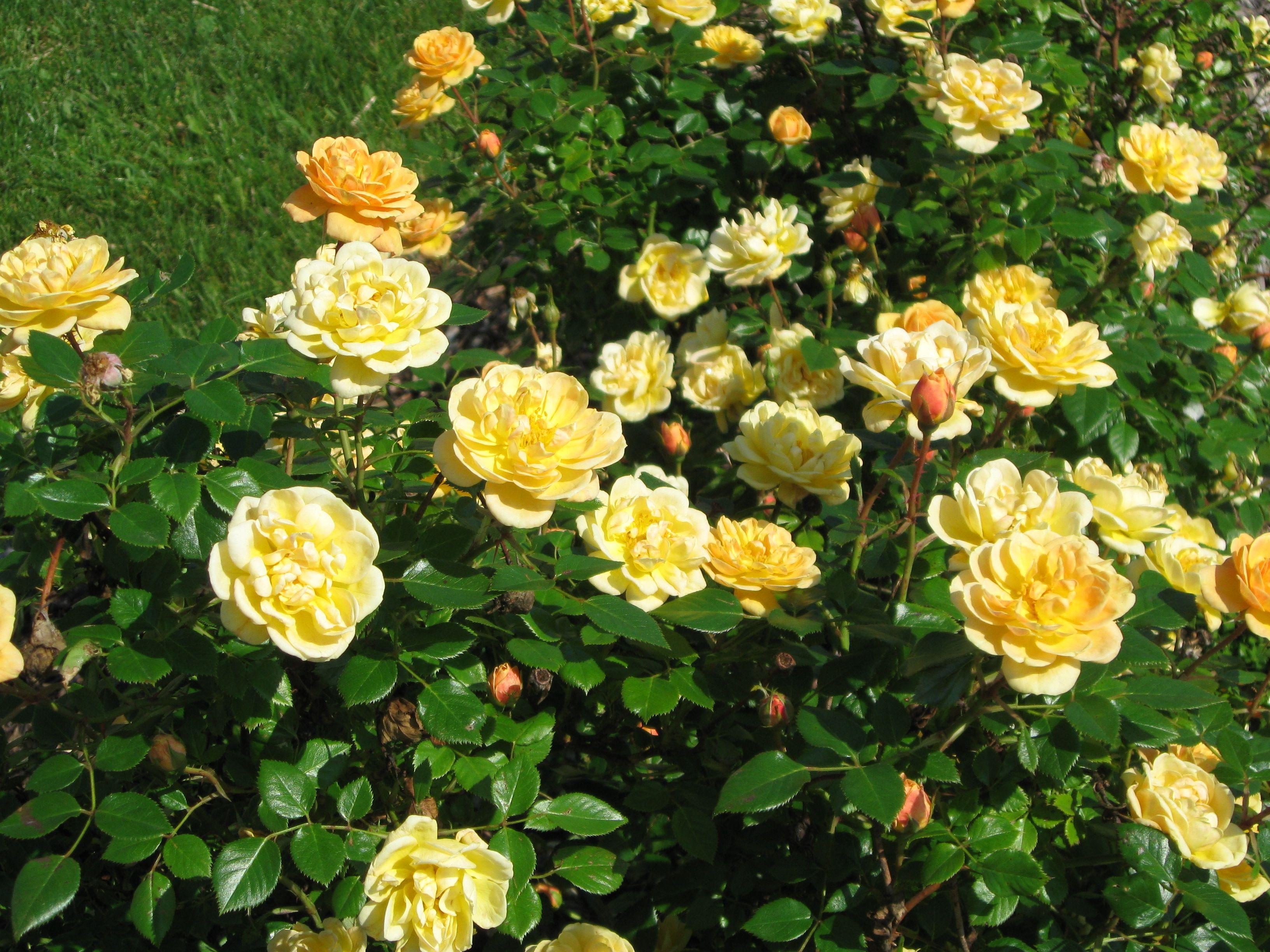 Sunrosa Yellow Shrub Rose Monrovia Sunrosa Yellow Shrub Rose Shrub Roses Yellow Shrubs Rose Varieties