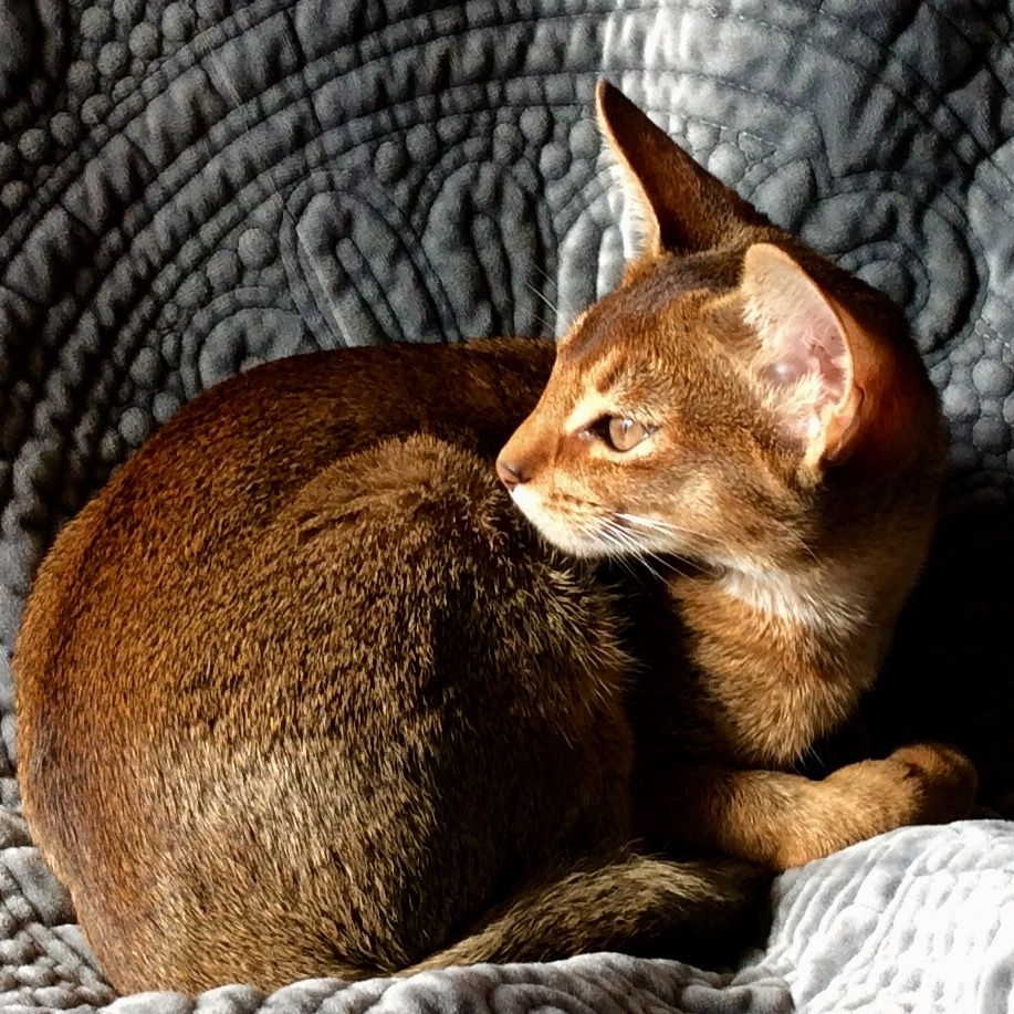 Abyssinian kitty Abyssinian cats, Beautiful cats, Abyssinian