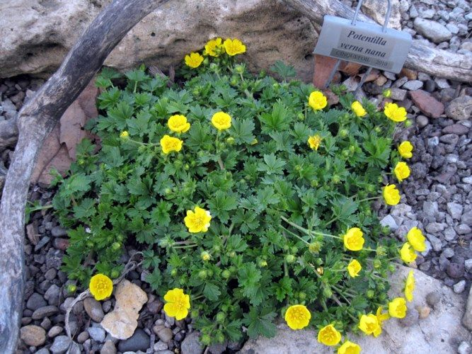 Potentilla verna nana image result for low growing daisies for potentilla verna nana common name cinquefoil a fast growing ground cover with dainty bright green leaves the golden yellow spring flowers are a mightylinksfo Image collections