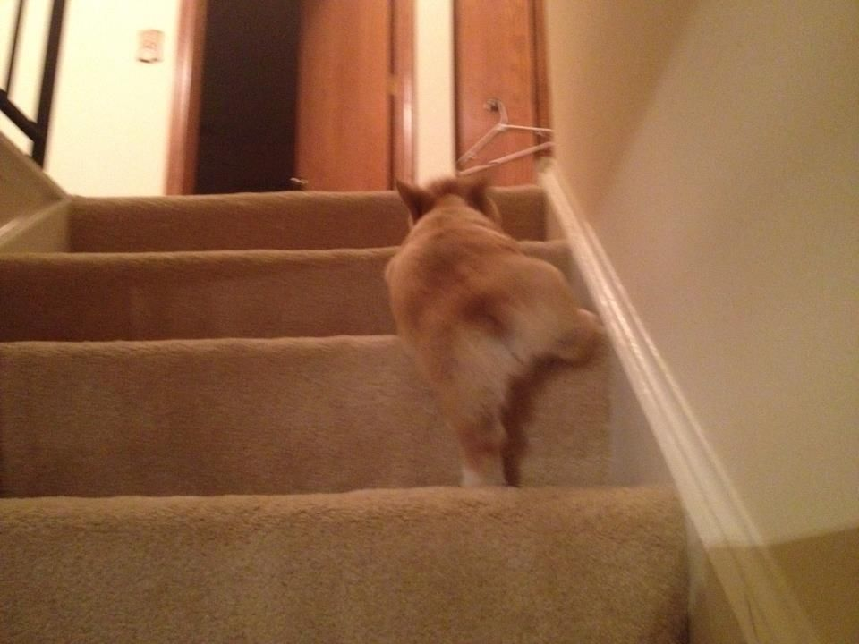 A Friend S Corgi On The Stairs Corgi Corgi Dog Corgi Pictures