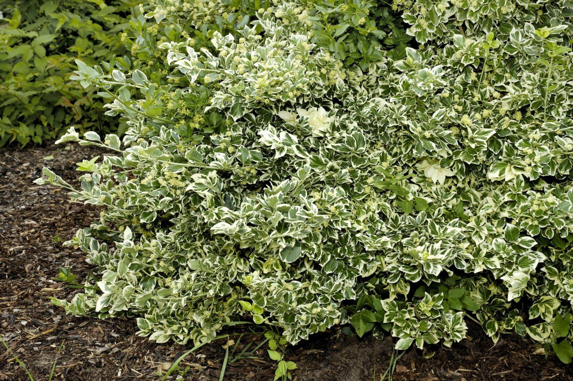 Bodendecker Pflanzen