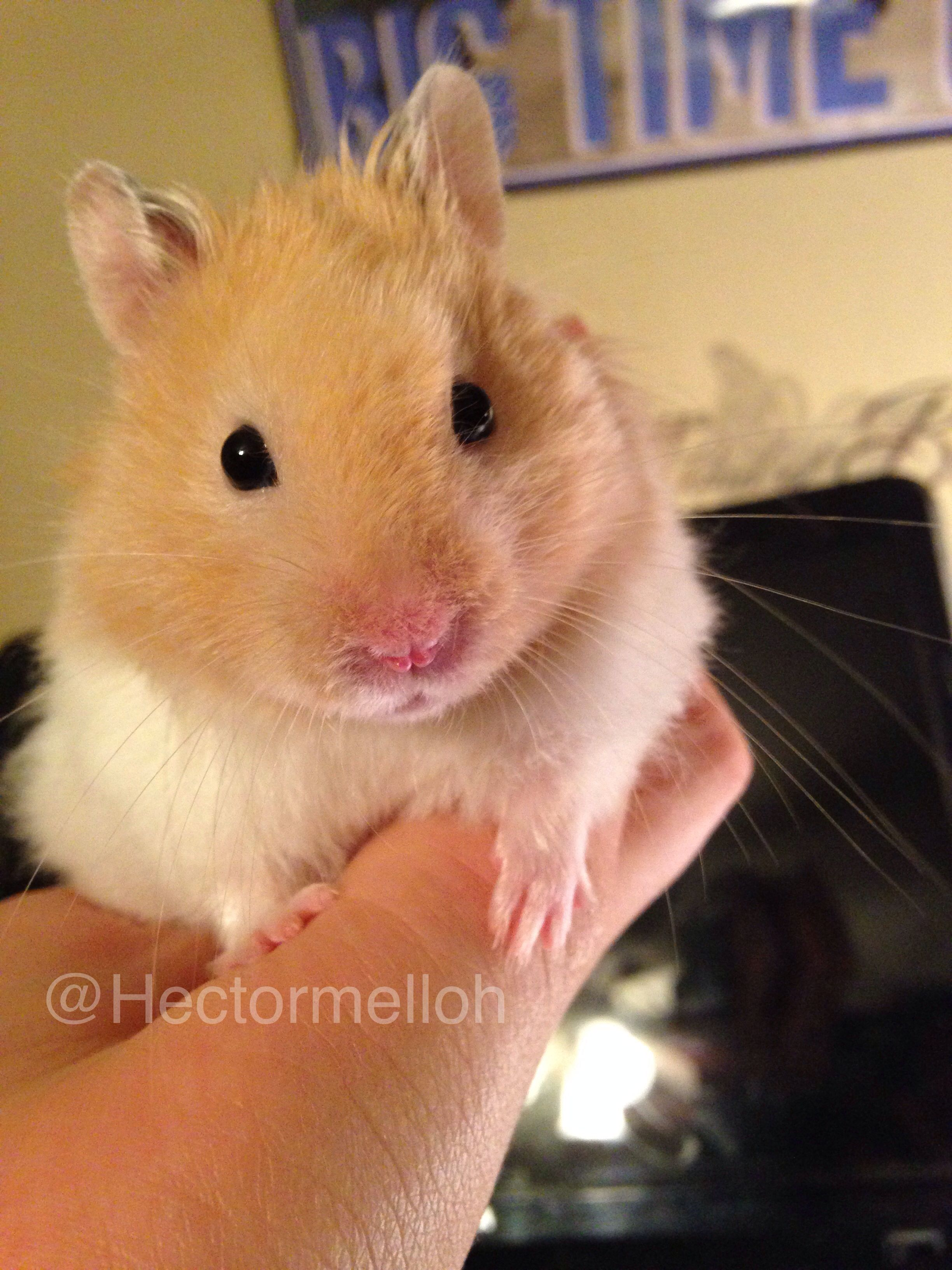 Hector The Long Haired Syrian Cute Hamsters Cute Animals Bear