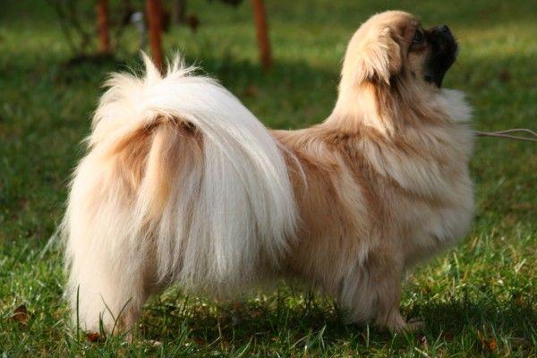 Tibetan Spaniel Looks A Bit Like Tincha With Images Spaniel