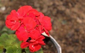 Kırmızı Sardunya / Horseshoe Geranium  Photo By www.nesedentarifler.com