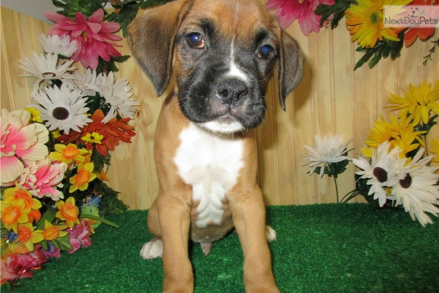 Boxer puppy for sale near Chicago, Illinois 7027b6a6