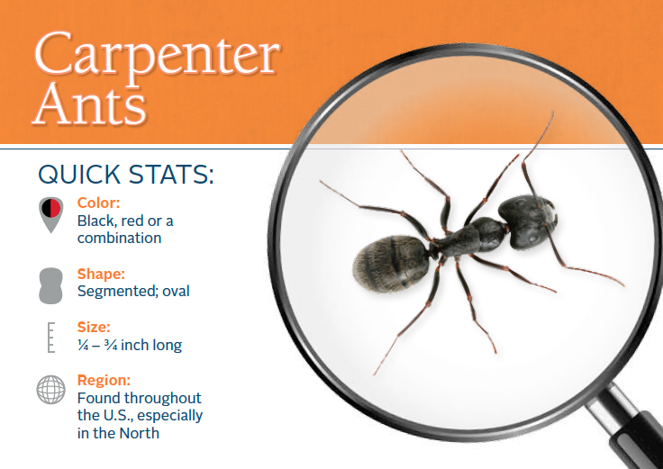 Do carpenter ants bite? Find out here! (With images