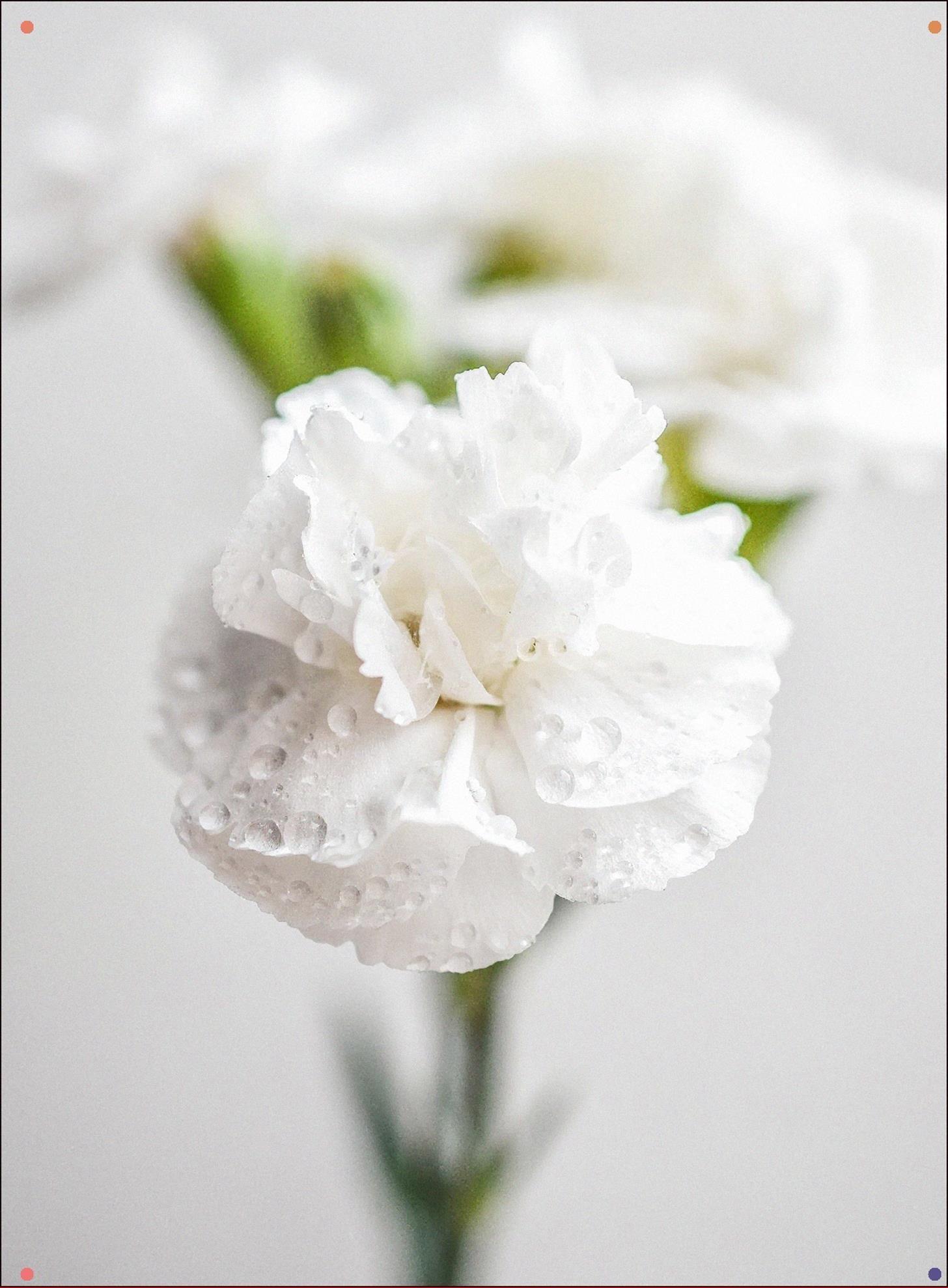 Nombre De Flores Blancas Pesquisa Google In 2020 Carnation Colors Carnations White Carnation