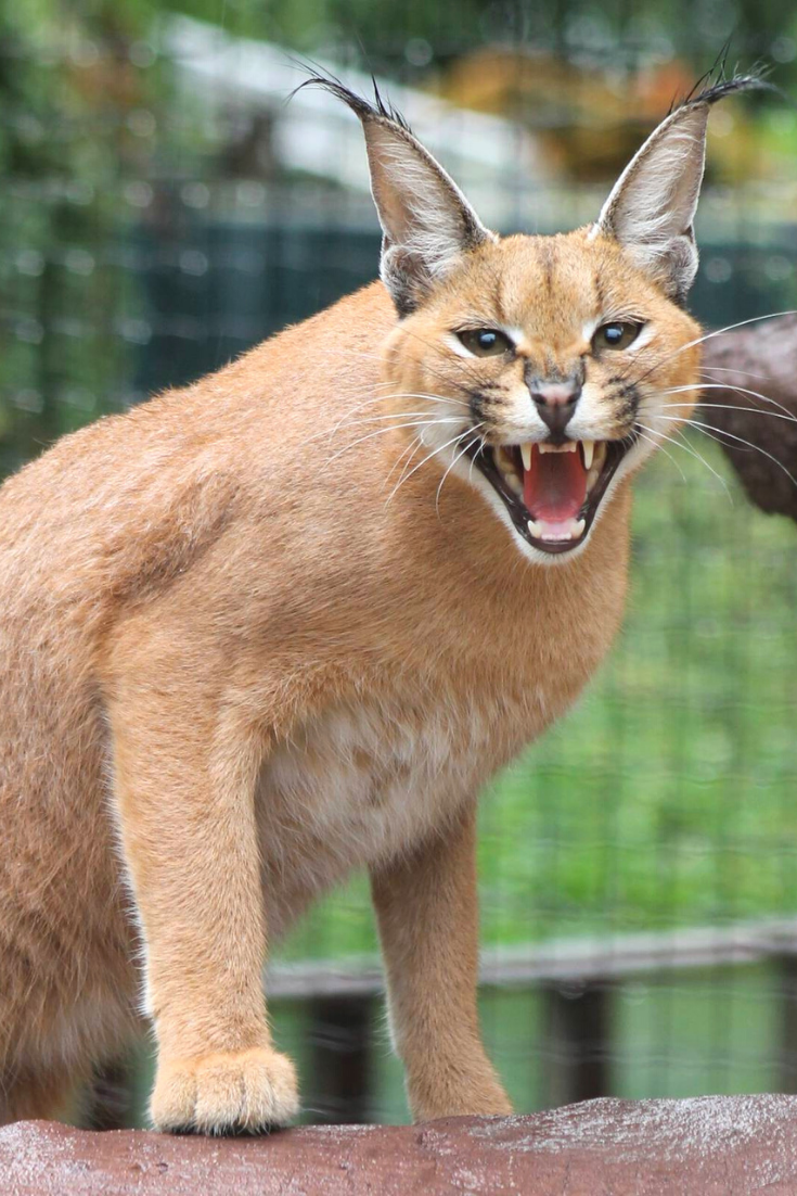 Important Facts About Caracal Pet You Need To Know in 2020