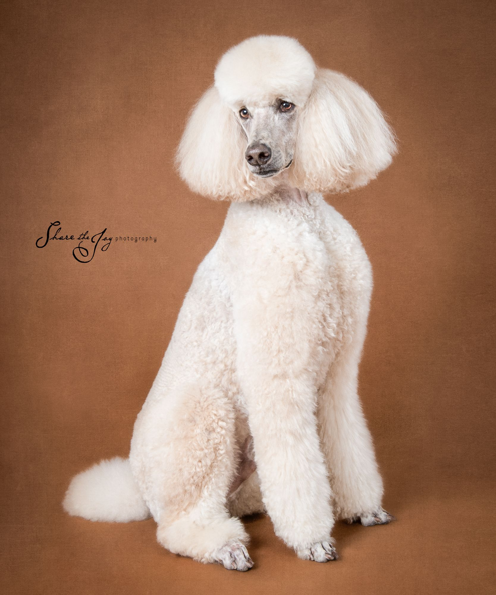 Louie Photographed At An Event To Benefit Norcal Poodle Rescue