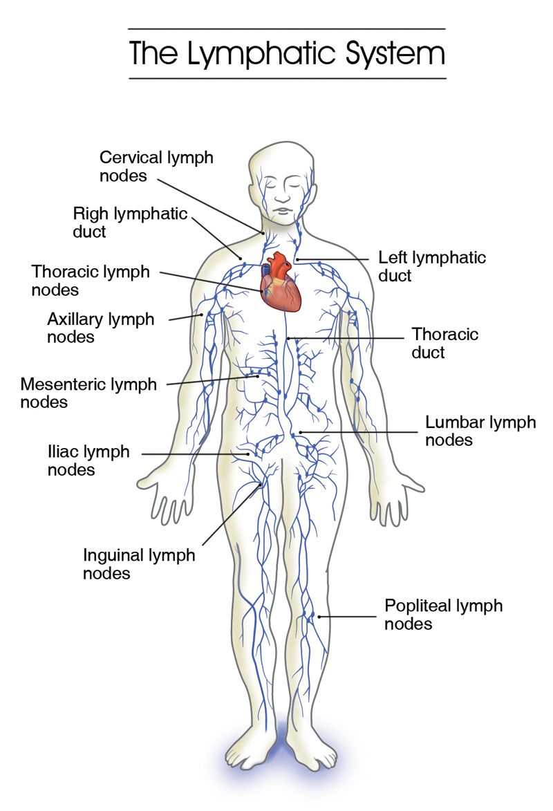 Labeled Diagram Of The Lymphatic System Human Anatomy Organs