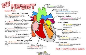 Poster how the heart works primary with tieplay educational this poster illustrates the 13 different parts of the heart their location and their function 17 in x 11 in posterfind over 330 learning activities at ccuart Image collections