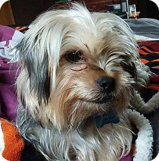 Snoodlerella Adopted Dog Llr Snoodlerella Cleveland Oh Yorkie Yorkshire Terrier Pekingese Mix Yorkshire Terrier Yorkie Yorkshire Terrier Yorkie