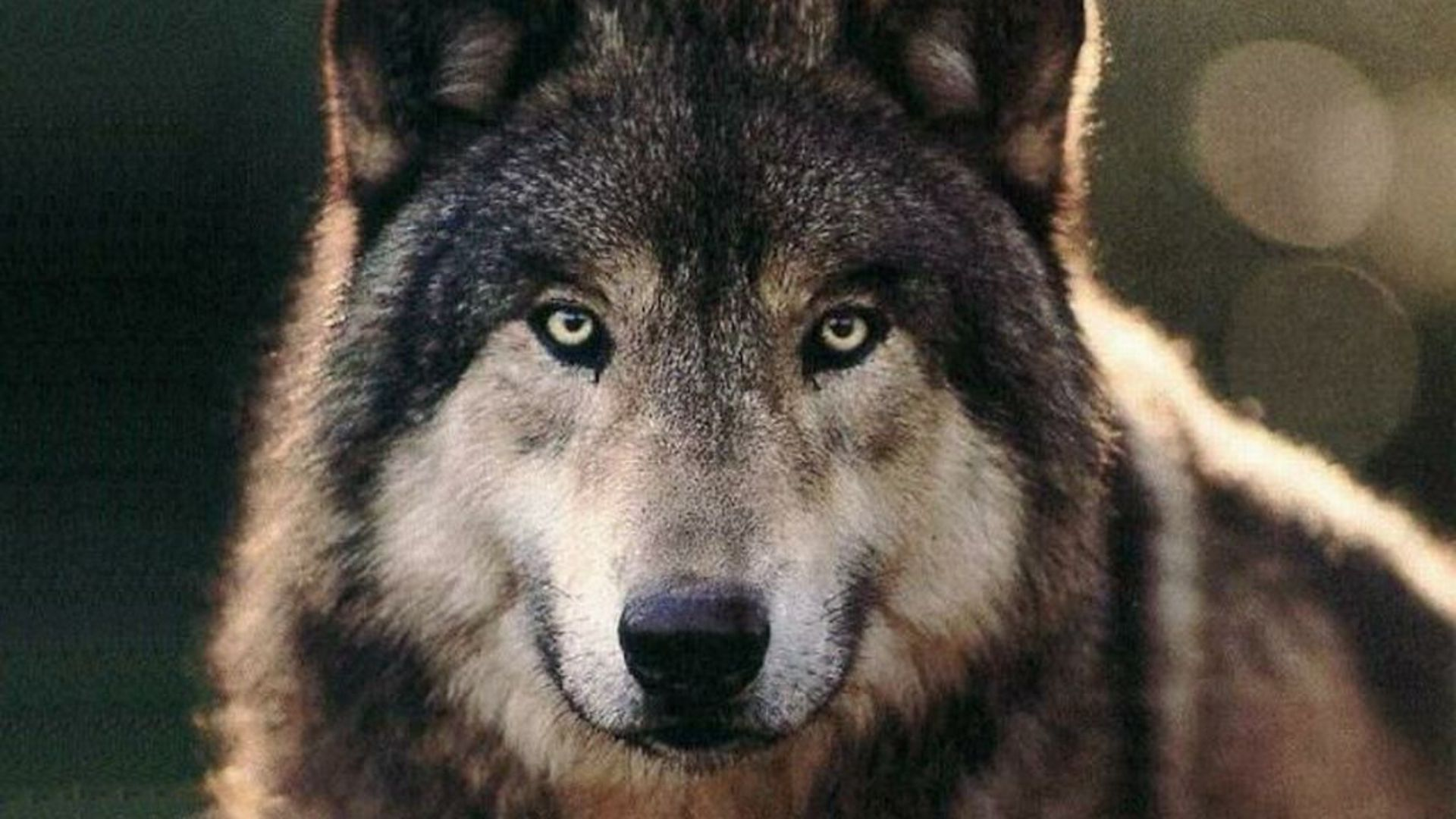 Hd wallpaper wolf - The Wolf Wallpapers Hd Wallpapers 1920 1080 Wolves Hd Wallpapers 45 Wallpapers