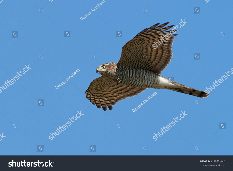 This Photo Was Sold Today Shutterstock Eurasian Sparrowhawk Accipiter Nisus In Flight Https Www Shutterstock Com Da Image Ph Fotos Kunstnere Illustration