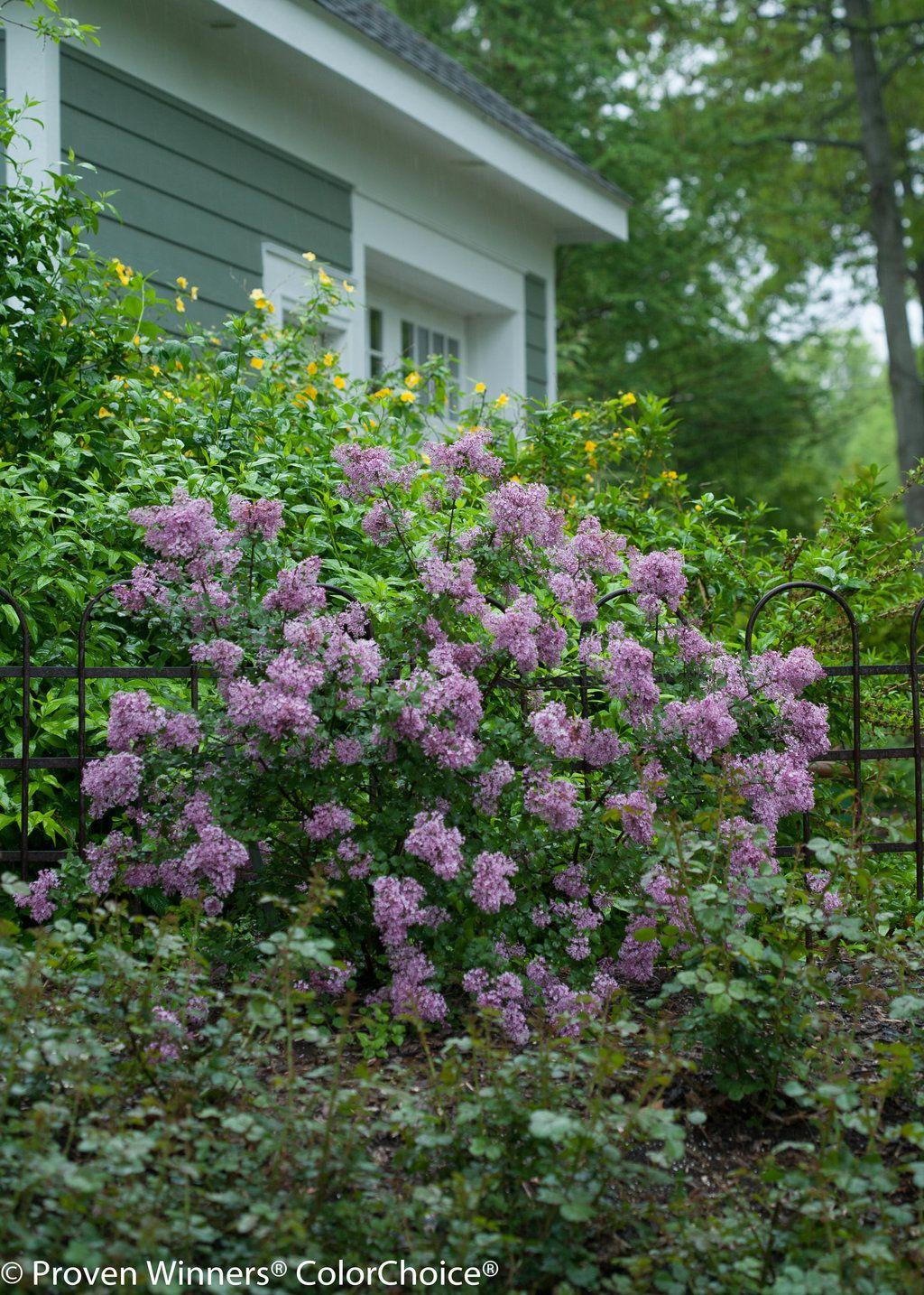 Bloomerang Purple Reblooming Lilac Syringa X Lilac Tree Syringa Lilac