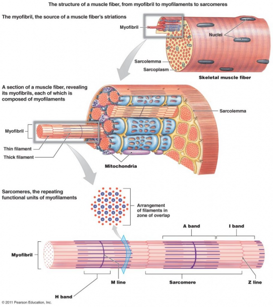 Gross Anatomy Of Skeletal Muscle The Muscular System Micro And Macro Anatomy Humanbodysystem Human Body Syst In 2020 Skeletal Muscle Muscular System Muscle Anatomy