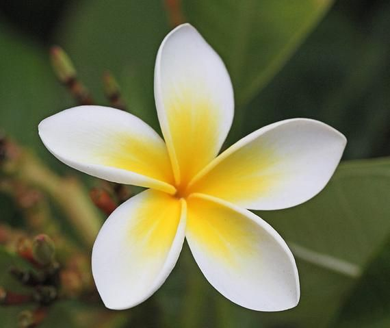 Plumeria Moisturizing Beauty Oil 4oz Pump Body Oil Massage Oil Hawaiian Essential Oil Na Summer Flowers Plumeria Beauty Oil