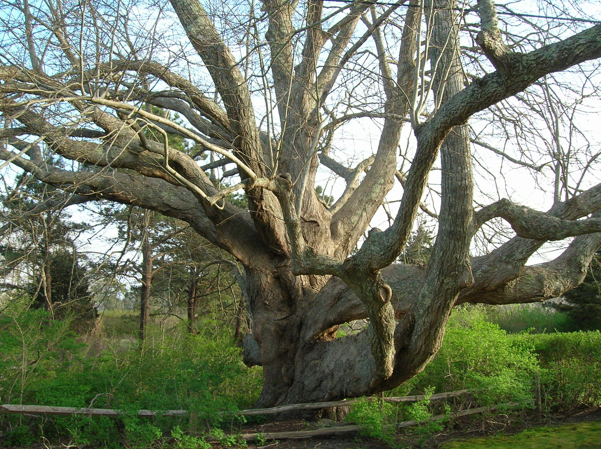 Linden Tree Isolated Stock Illustration 29060230 - Shutterstock