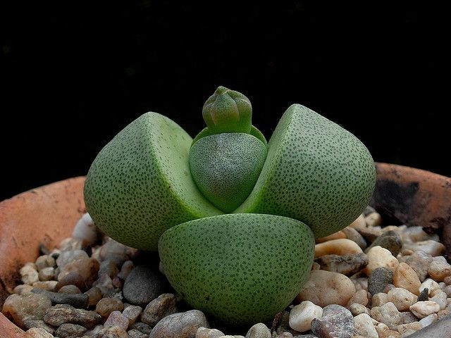Pleiospilos nelii Green Purple Split Rock cactus succulent lithop rare