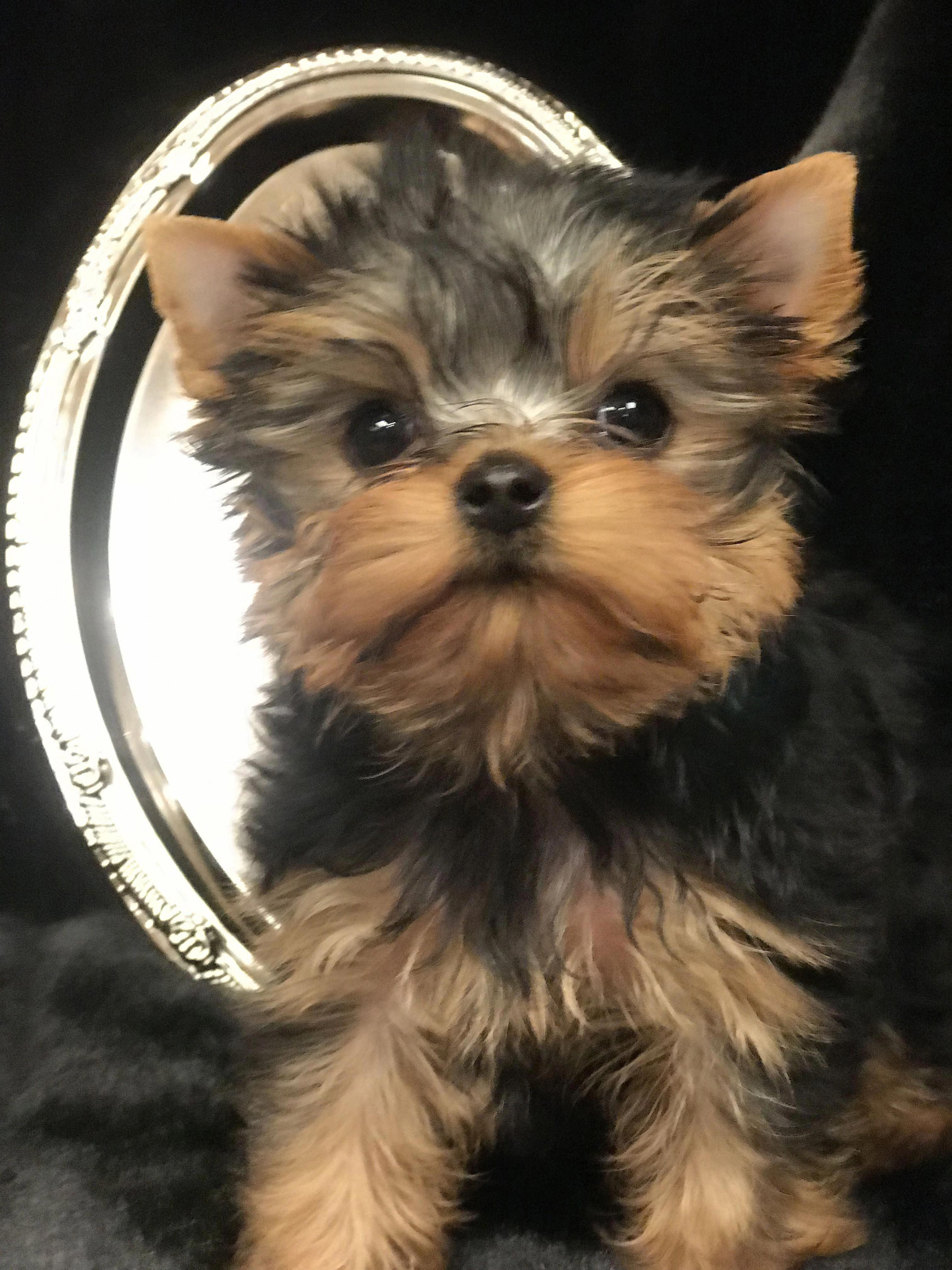 More About The Loyal Rottweiler Pup And Kids Rottweilercorner Rottweilerclub Rottweilerfunny Yorkshire Terrier Dog Yorkshire Terrier Puppies Yorkie Dogs