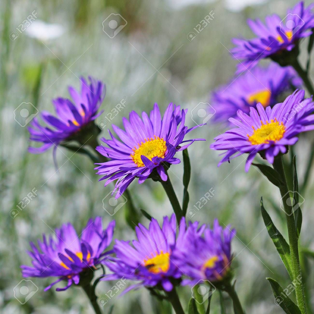 The alpine aster aster alpinus decorative garden plant with blue decorative garden plant with blue flowers izmirmasajfo