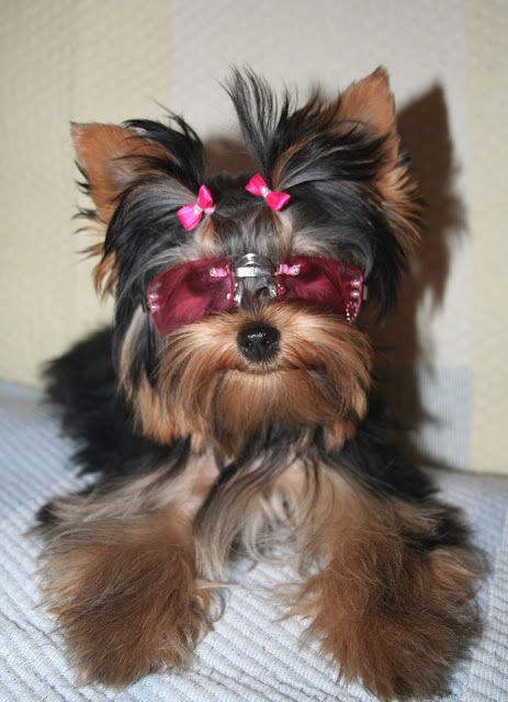 Yorkie Wearing Small Pink Hair Bows And Rectangular Shades Super