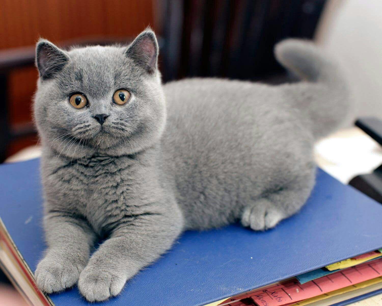 Www Majaempfiehlt De Cats Catlovers Cute Kitten Majaempfiehlt Munchkin Cat Cats Cats And Kittens