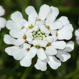Picture of candytuft flowers. A perennial, candytuft displays bright white flowers.