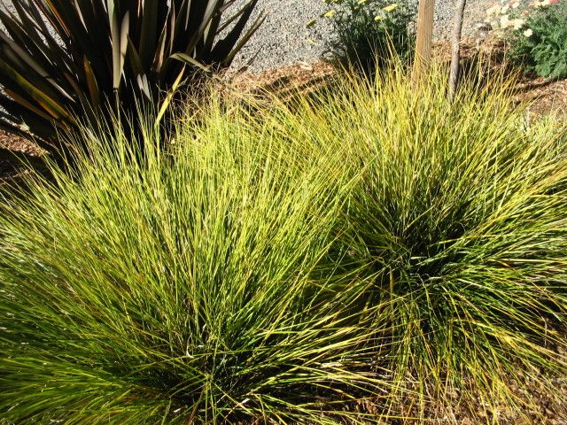 New zealand wind grass stipa arundinacea pheasant tail for Fast growing ornamental grass
